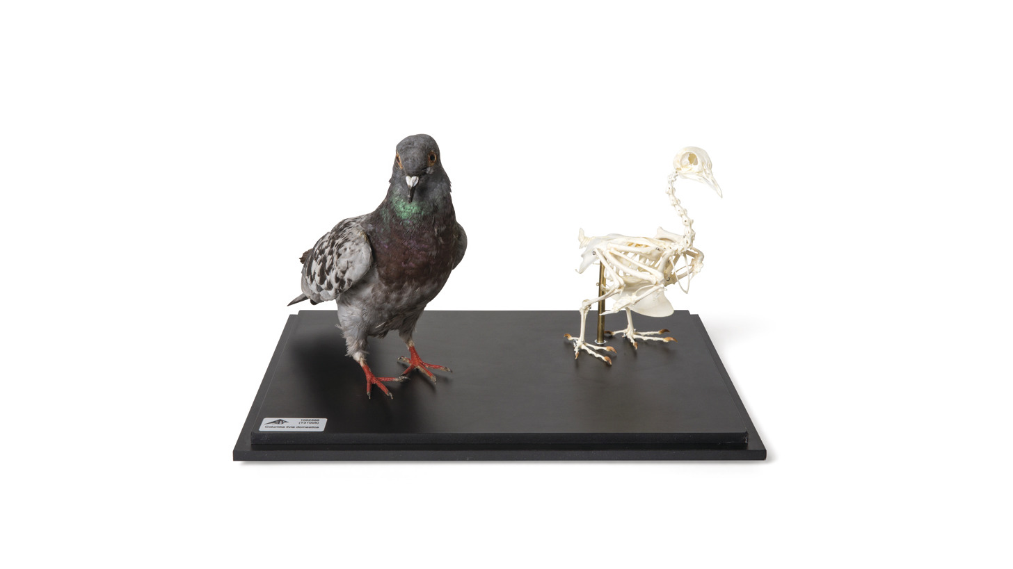 Logo Pigeon and Pigeon Skeleton