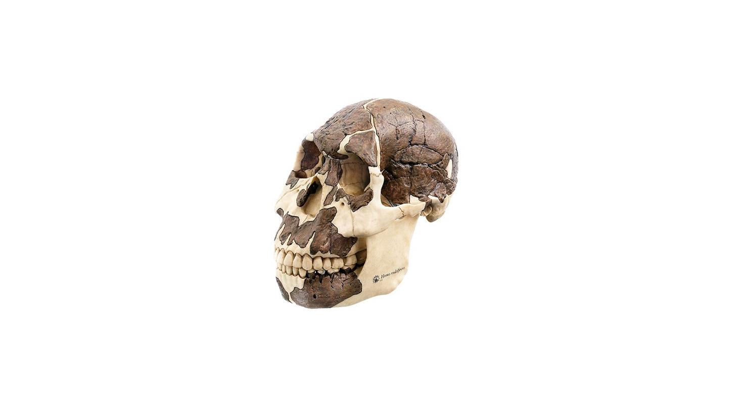 Logo Reconstruction skull H. rudolfensis