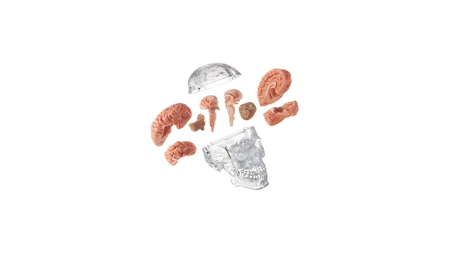 Logo Künstl. Homo-Schädel mit zerl. Gehirn